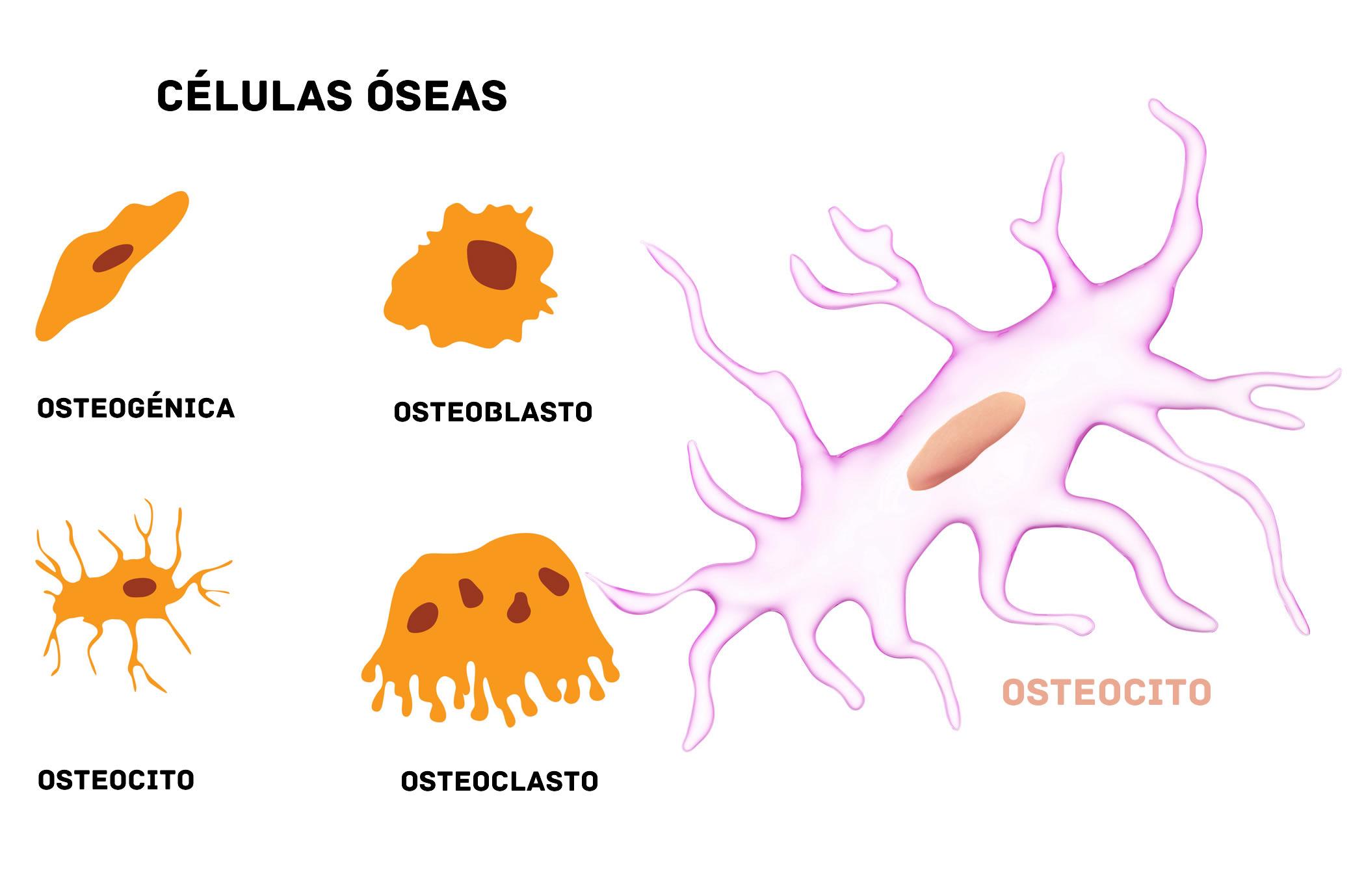 Osteocito